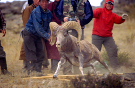 ARGALI AND IBEX PROJECT